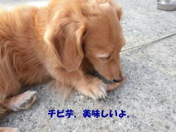 人参にヨトウムシ5