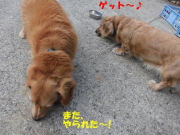 人参にヨトウムシ14