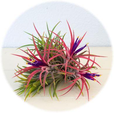 イオナンタの花