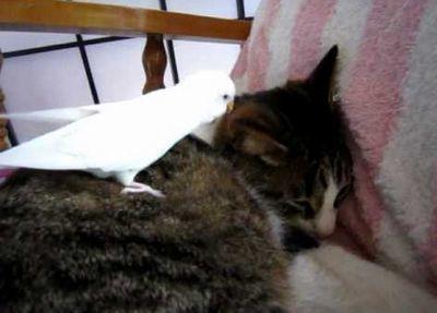猫にのるインコ
