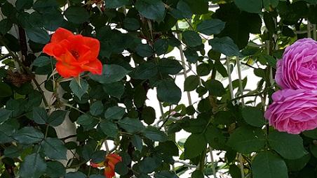 rose2]