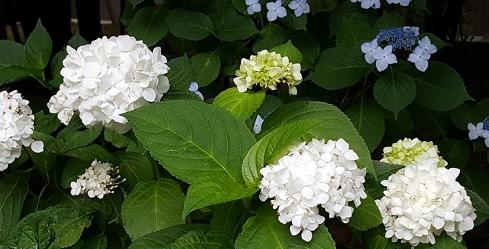 white ajisai