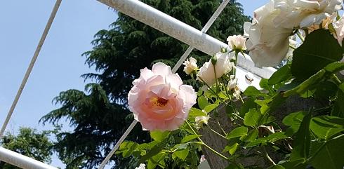 rose1_20160516101624f67.jpg