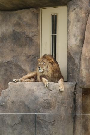 ライオン (3)