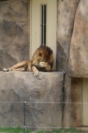 ライオン (4)