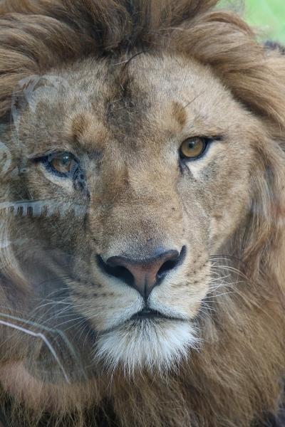 ライオン (7)