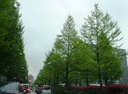 風前の灯?広瀬通りの銀杏並木