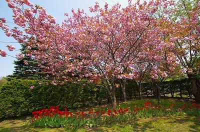 八重桜001
