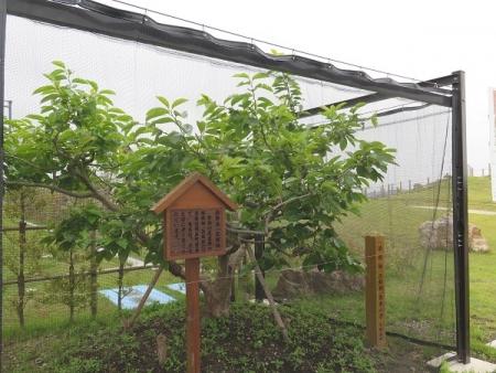 ネオパーサ遠州森町 治郎柿