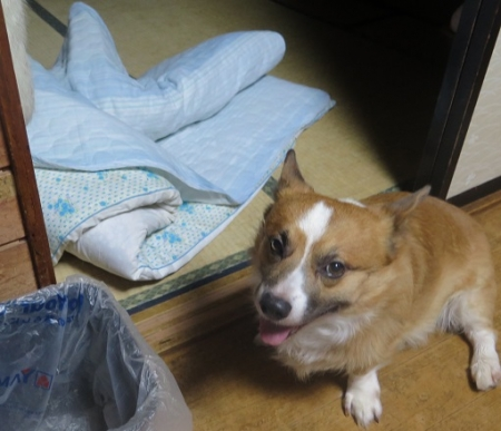 布団をぐちゃぐちゃにした犬