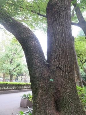 日比谷公園 木の股に・・・