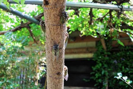 たまりや 蝉の木