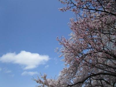 桜2016-4-4