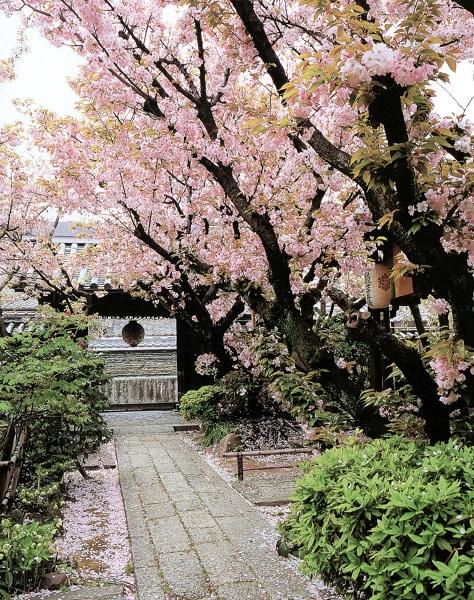 満開の雨宝院境内の桜