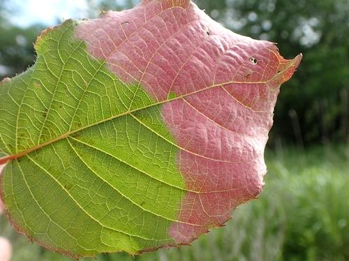 ミヤママタタビの葉3