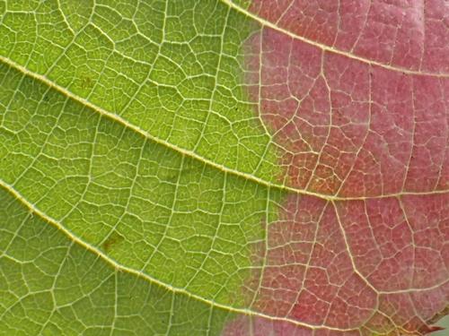 ミヤママタタビの葉6