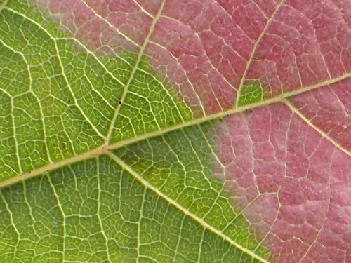 ミヤママタタビの葉8