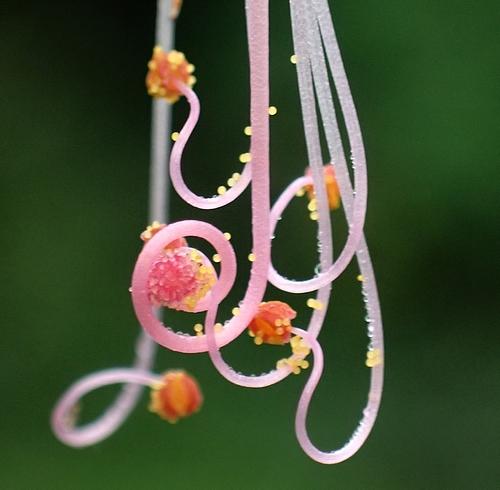 おしろい花8