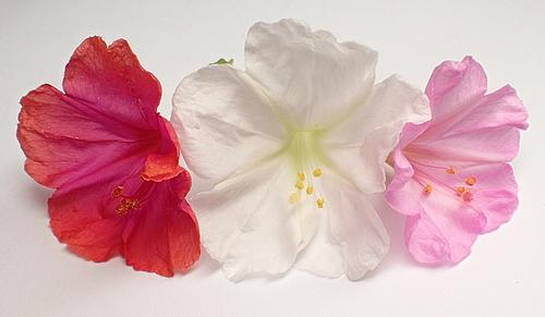 おしろい花10