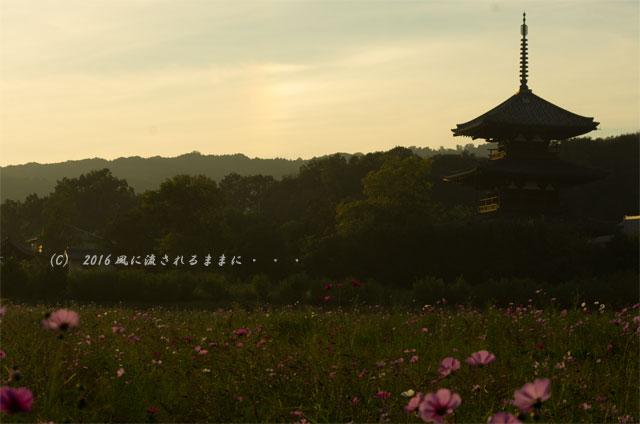 2016年10月15日撮影 奈良・法起寺 夕景とコスモス3