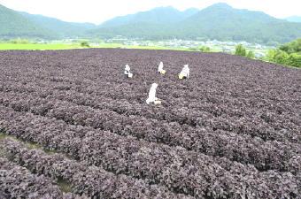 赤紫蘇2691-340