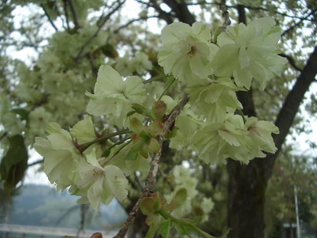 黄桜の丘4