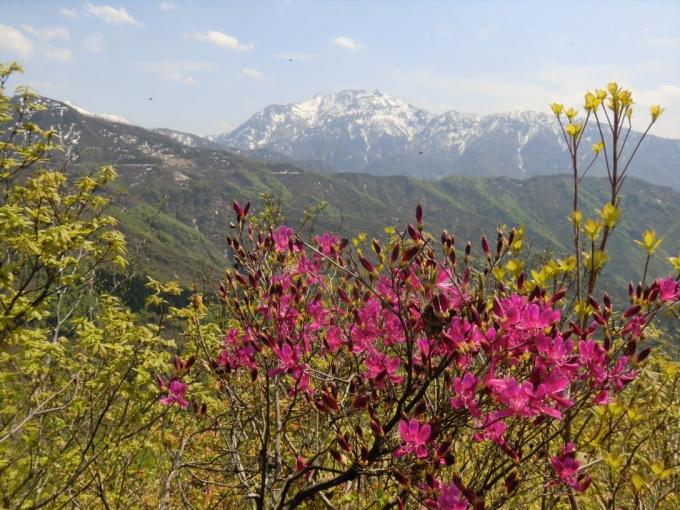 八海山とユキグニミツバツツジ