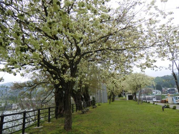 黄桜の丘1