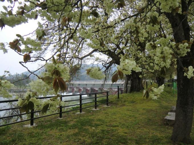 黄桜の丘2(宮中ダム)