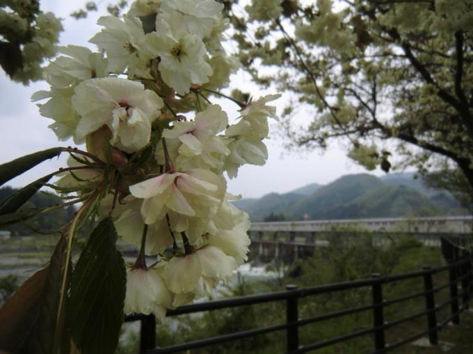 黄桜の丘3(宮中ダム)