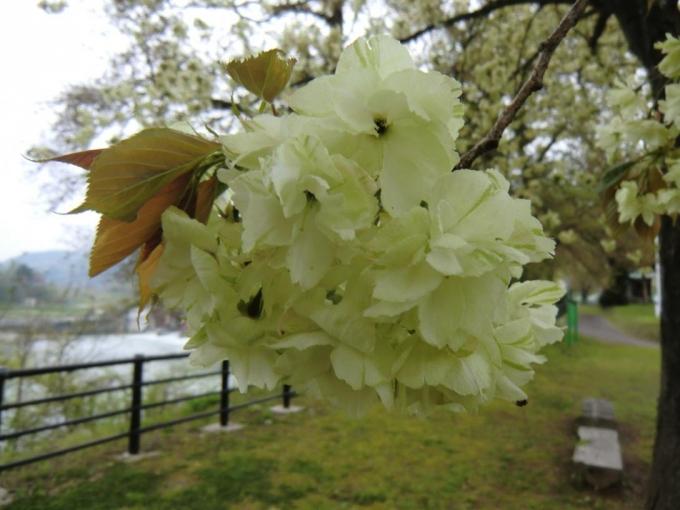 黄桜の丘5