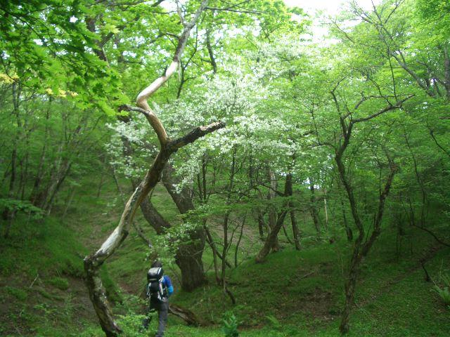 シロヤシオの古木