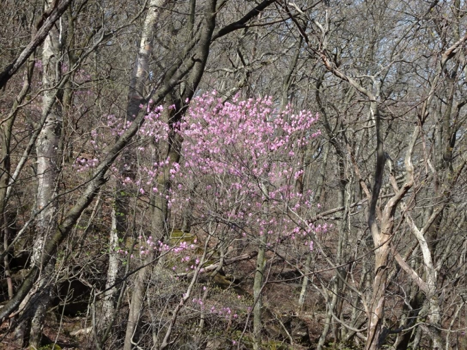 樹間にアカヤシオ1