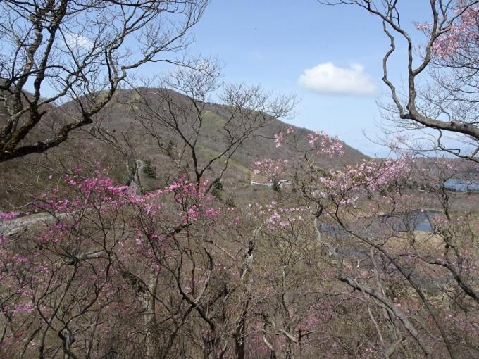 篭山のアカヤシオ3