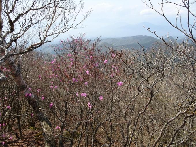 荒山山頂部のアカヤシオ