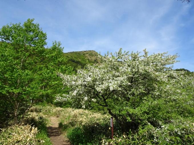 小梨平に咲くズミと烏帽子岳