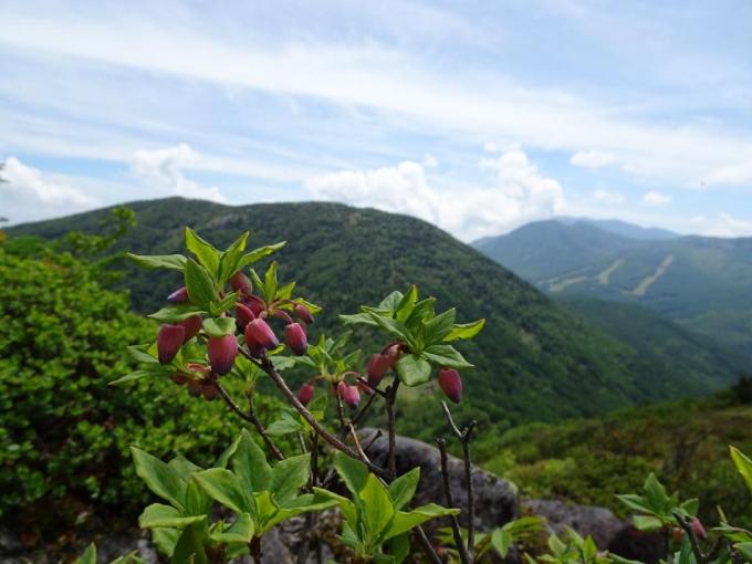 ウラジロヨウラクと湯の丸山・籠ノ登山