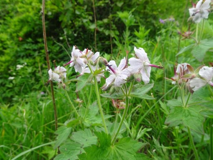 白花のグンナイフウロ