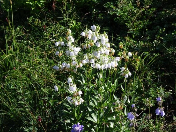 ハクサンシャジンの白花