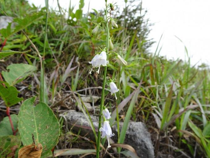 ツリガネニンジンの白花