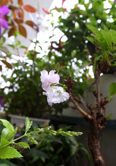 160927_0913issaizakura3.jpg