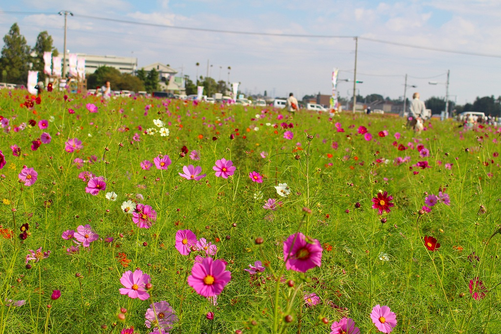 小泉コスモスまつり 伊勢崎 東 04