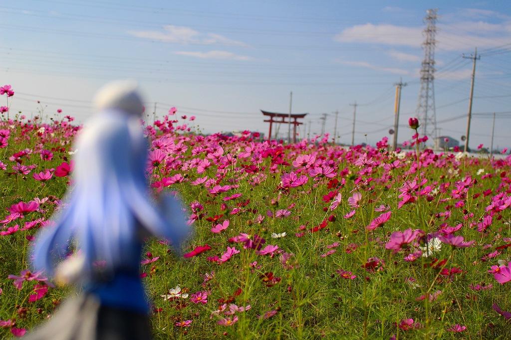 小泉コスモスまつり 伊勢崎 東 09