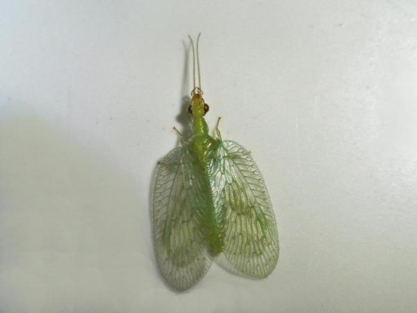 ミドリヒメカゲロウ