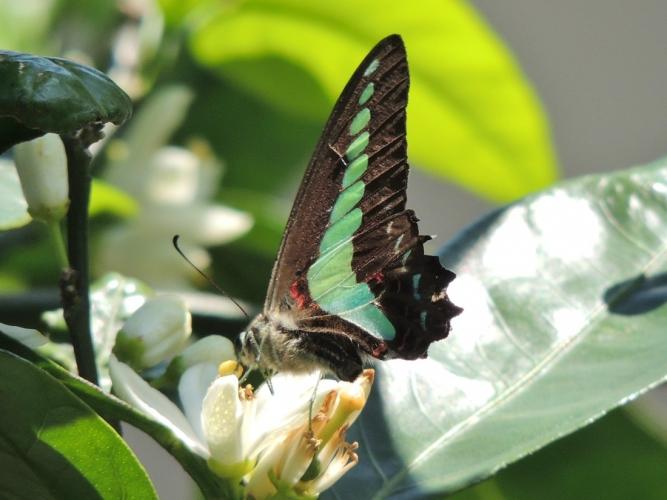 みかんの花に蝶