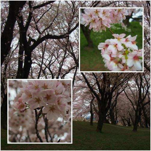 page三重桜2