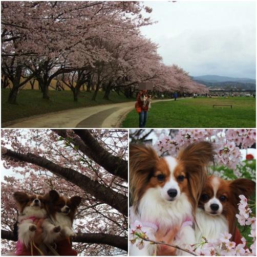 page三重桜3