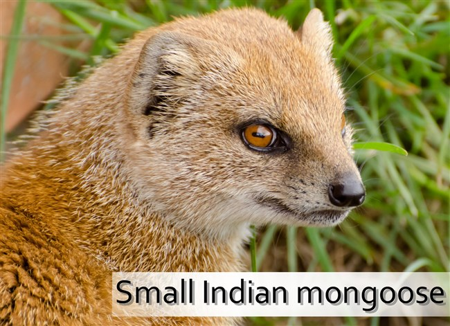 yellow-mongoose-animals.jpg