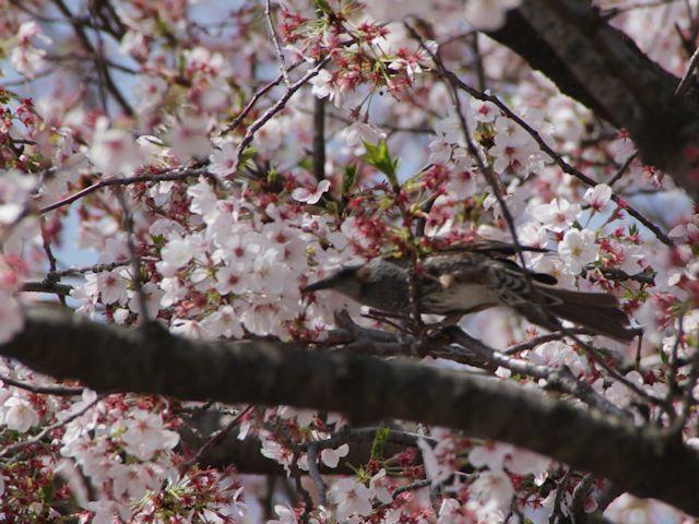 B20160409B_桜と鳥_IMG_3994