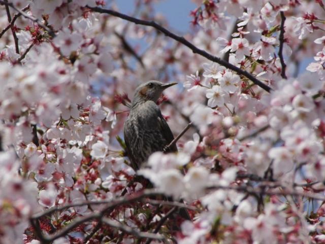 B20160409B_桜と鳥_IMG_4018